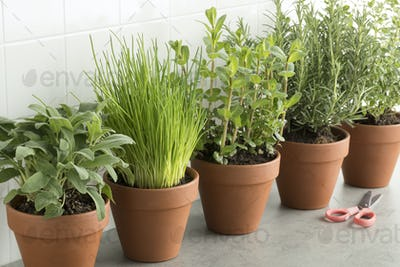 Row of brown terracotta pots with fresh herbs