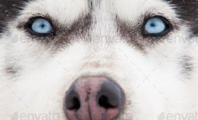 Siberian husky portrait. Close-up