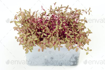 Red garden orache microgreen in white plastic container
