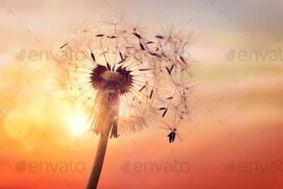 Dandelion silhouette against sunset