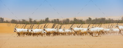 Arabian Oryx Herd in Abu Dhabi Emirate