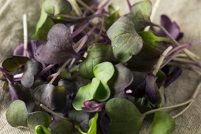 Raw Purple Organic Radish Microgreens