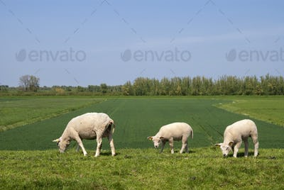 Grazing sheep on a dike