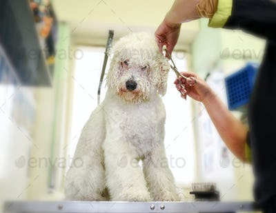 Groomer trimming the coat of a small white dog