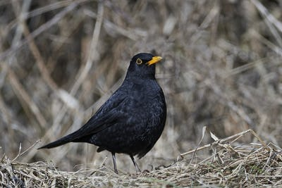 Common blackbird (Turdus merula)