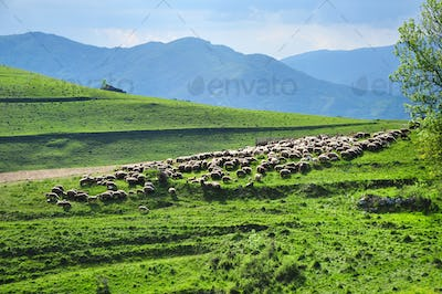Large flock of sheep resting in a traditional rustic sheepfold. Transylvania, Romania