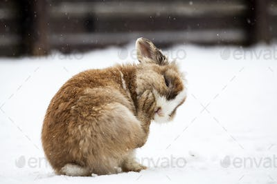 Rabbit in wintertime