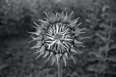 Close up of black & white sunflower on plant