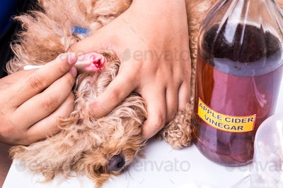 Person cleaning inflammed ear of dog with apple cider vinegar