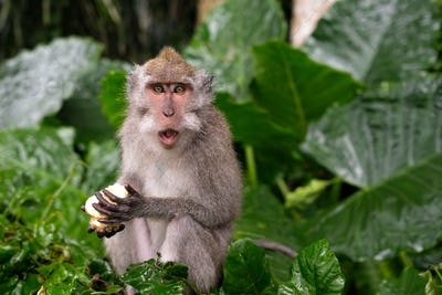 Young Macaque Monkey eat