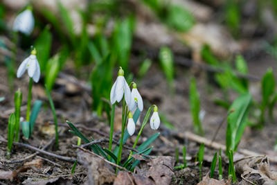 Closeup shot of fresh common snowdrops (Galanthus nivalis) blooming in the spring.