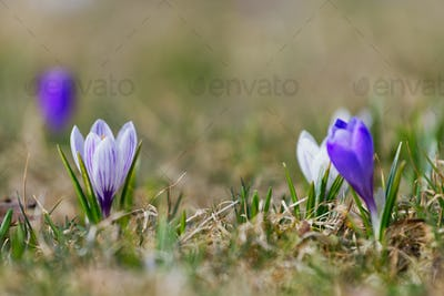 Crocuses close up in a sunny spring day (Crocus vernus)