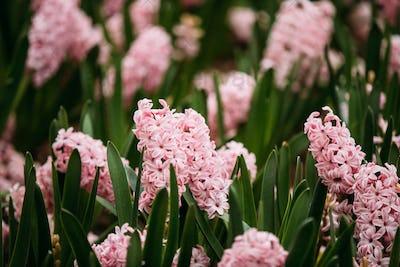Blooming Pink Flowers Of Hyacinth In Spring Garden