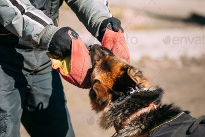 German Shepherd Dog Training. Biting Alsatian Wolf Dog