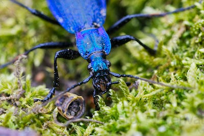Blue ground beetle (Carabus intricatus) on a moss