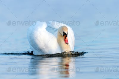 Swan on blue lake water in sunny day