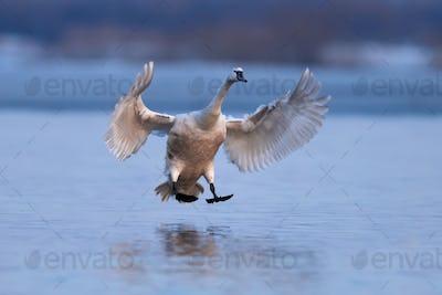 Mute swan, Cygnus olor, single bird in flight