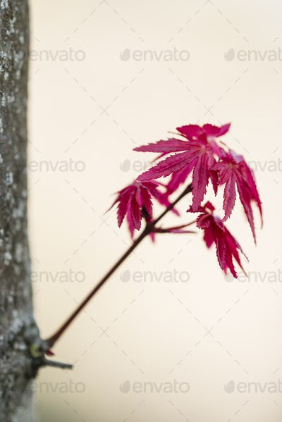 Red leaves of Japanese maple Acer palmatum