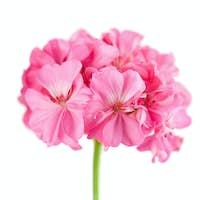 pink geranium flower isolated