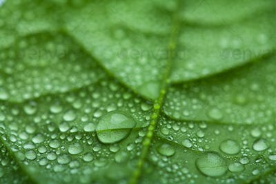 fresh leaf with water droplets