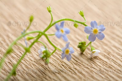 forget me not flower over recycled paper. ecological background
