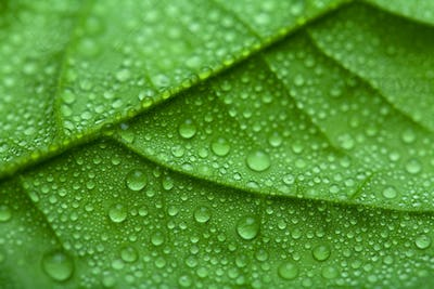 fresh green leaf with water drops