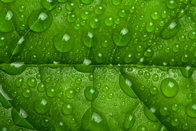 fresh green leaf with water droplets