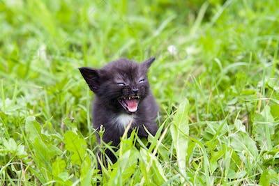 Temper - small kitten in the grass