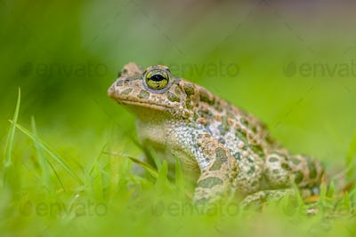 Green toad in bright green Grass