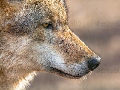 Snout portrait of a  Grey Wolf