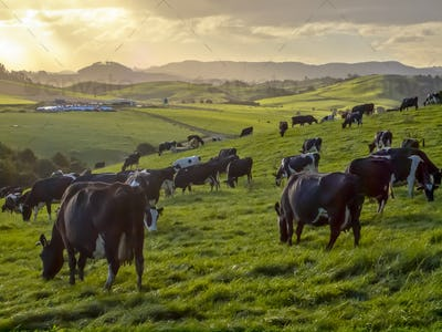 Grazing cows in green meadow of hilly countryside