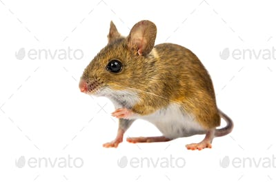 Curious Cut out Field Mouse
