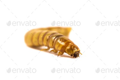 Close up Mealworm