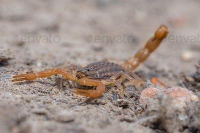 Common Yellow Scorpion