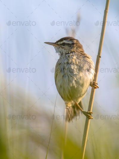 Sedge warbler in reed plant