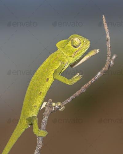 African chameleon on stick