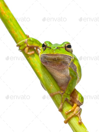 Green Tree frog frontal diagonal