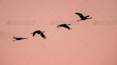 Four Migrating Eurasian Cranes flying against pink sky