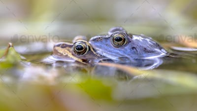 Moor frog couple submersed in water