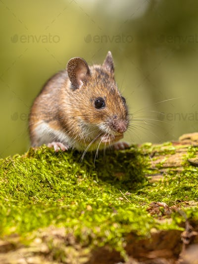 Wood Mouse on mossy log green background