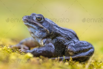 Blue Moor frog side view on bright green background
