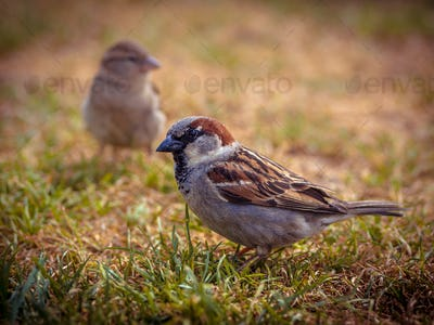 Couple of house sparrow