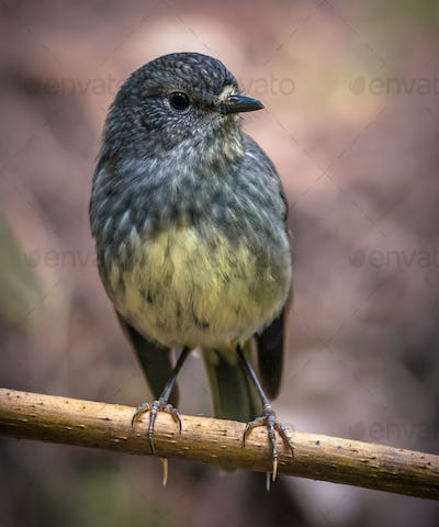 Cute New Zealand robin perched on branch