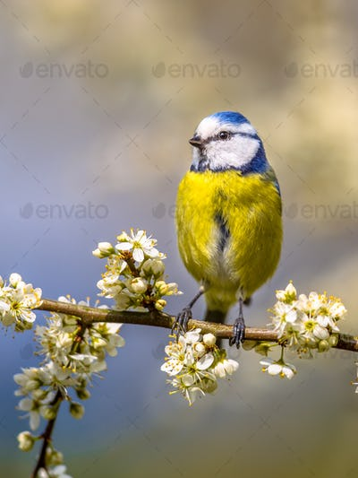 Blue tit portrait in blossom
