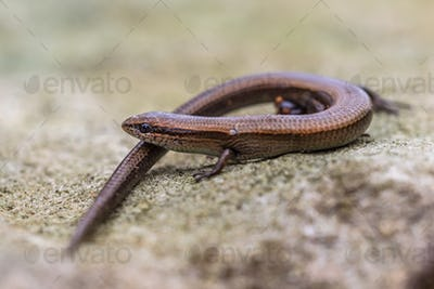 European copper skink on rocky surface