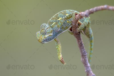 African chameleon climbing on branch