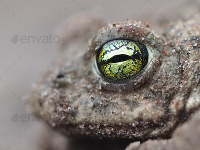 yellow eyes of a Natterjack toad
