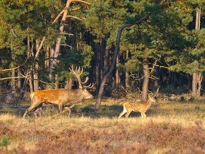 Male red deer (Cervus elaphus) with juvenile