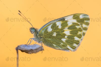 Butterfly Bath white orange background