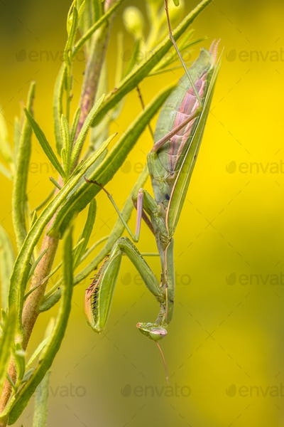 Mantis ambush predator yellow flower